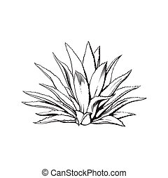 Hand drawn blue agave, main tequila ingredient, sketch style...