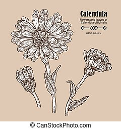 Hand drawn calendula flower. Medicinal herbs in sketch style. Vector illustration vintage