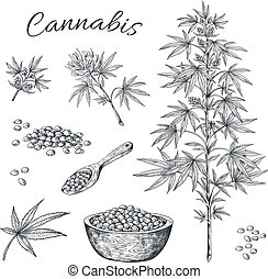Hand drawn cannabis. Hemp plant with seeds leaves and cons, vintage line sketch of marijuana. Vector cannabis isolated on white