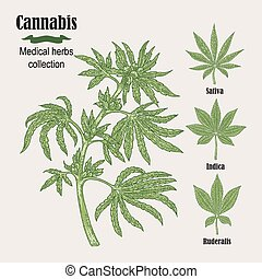 Hand drawn cannabis plant. Medicinal herbs collection....