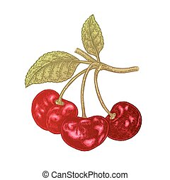 Hand drawn cherry branch vector illustration. Fruit colored sketch isolated on white background