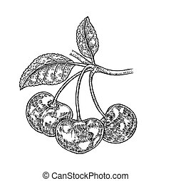 Hand drawn cherry branch vector illustration. Fruit sketch isolated on white background