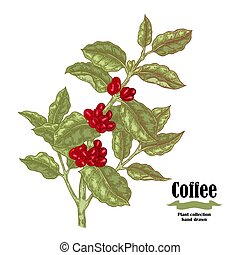 Hand drawn coffee branch with berries and leaves isolated on white background. Vector illustration.