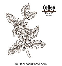 Hand drawn coffee branch with flowers and leaves isolated on white background. Vector illustration engraved.