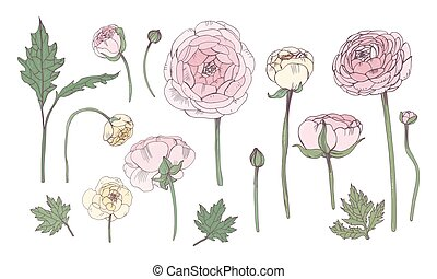 Hand drawn colorful floral elements set. Collection with pink ranunculus flowers.