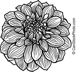 Hand drawn Dahlia flower. Black and white, vector...