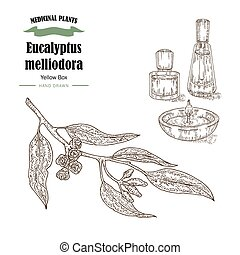 Hand drawn eucalyptus leaves and fruits. Eucalyptus melliodora or Yellow Box branch. Vector illustration
