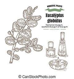 Hand drawn eucalyptus leaves and fruits. Eucalyptus...