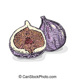 Hand drawn fig fruit. Vector illustration. Sketch style
