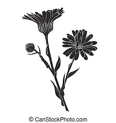 Hand drawn flowers - Calendula officinalis or pot marigold ...