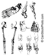 Hand drawn foot bones and patella
