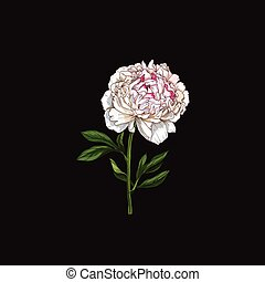 Hand drawn gently pink peony flower isolated on black background. Botanical vector
