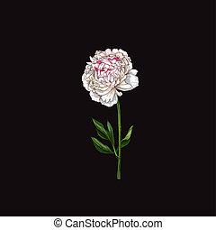 Hand drawn gently pink peony flower isolated on black background. Botanical