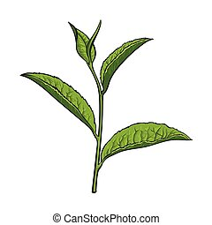 Hand drawn green tea leaf, side view sketch, vector illustration