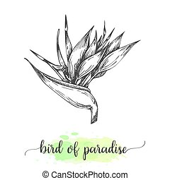 Hand drawn heliconia sketch. Floral background with blooming bird of paradise flowers isolated on white. Vector illustration in vintage style. Sketch of tropical flower Outline ink botanical design