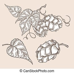 Hand drawn hops plant. Vector sketch vintage