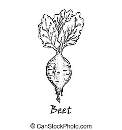 Hand drawn illustration of a  beet with  leaves
