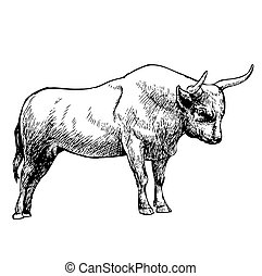 hand drawn illustration of bull