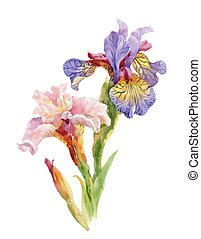 Hand drawn iris flowers on white background.