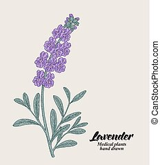 Hand drawn lavender branch with leaves and flowers. Vector illustration vintage.