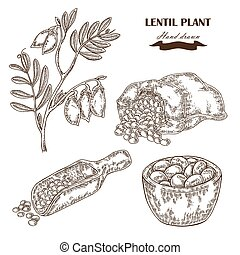 Hand drawn lentil plant. Wooden scoop with beans. Vector...