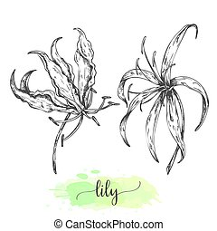 Hand drawn lily flowers. Floral background with blooming lilies isolated on white. Vector illustration in vintage style. Sketch of tropical flower Outline lilly