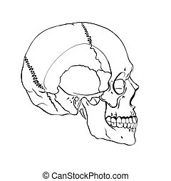 Hand drawn line art anatomically correct human skull.