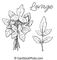Hand drawn lovage isolated on white background. Vector illustration of a sketch style.