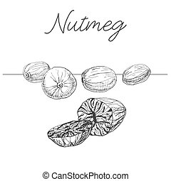 Hand drawn nutmeg isolated on white background. Vector illustration of a sketch style.