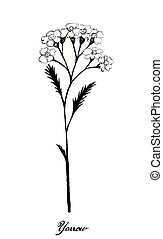 Hand Drawn of Achillea Millefolium or Yarrow Plants - Herbal...