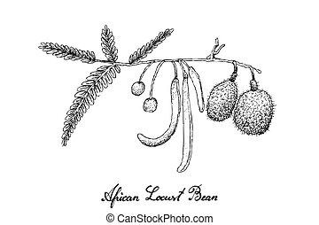 Hand Drawn of African Locust Bean on White Background -...