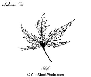 Hand Drawn of Autumn Maple Leaves on White Background -...