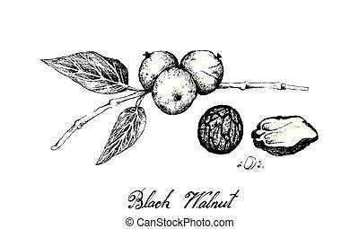 Hand Drawn of Black Walnuts on A Branch - Illustration Hand...