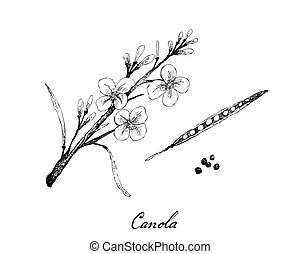 Hand Drawn of Canola Pod and Seed - Illustration of Hand ...