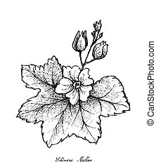 Hand Drawn of Chinese Mallow on White Background