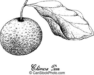 Hand Drawn of Chinese Pear on White Background