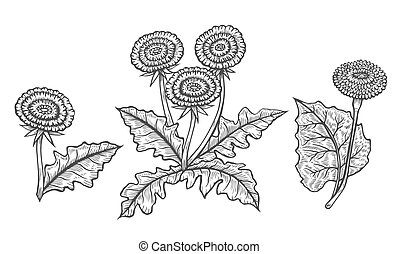 Hand drawn of Coltsfoot in engraving style. Vector images of medicinal plants. Detailed botanical illustration for your design. Biological additives are. Healthy lifestyle.