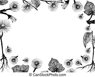 Herbal Flower and Plant, Hand Drawn Illustration Frame of Coltsfoot or Tussilago Farfara Plant and Elecampane, Inula Helenium, Horse Heal or Elfdock Used for Traditional Medicine and Condiment.