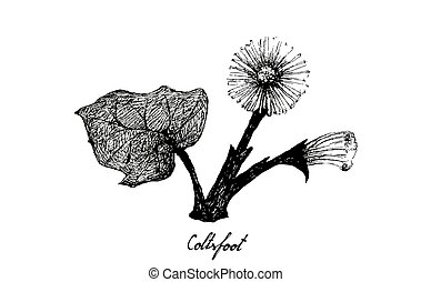 Herbal Flower and Plant, Hand Drawn Illustration of Coltsfoot or Tussilago Farfara Plant Used for Traditional Herbal Medicine in Liver Health Concerns.