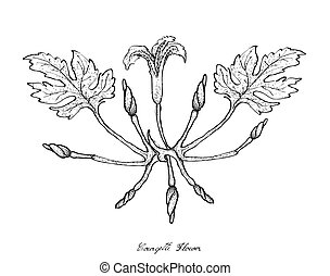 Hand Drawn of Courgette Flowers on White Background