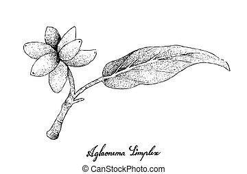 Hand Drawn of Fresh Aglaonema Simplex Fruits - Fresh Fruits,...