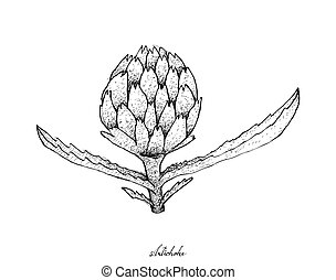 Hand Drawn of Fresh Artichoke on A White Background