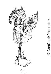 Hand Drawn of Fresh Canna on White Background