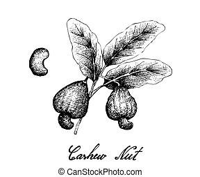 Hand Drawn of Fresh Cashew Nut on A Plant - Illustration of...