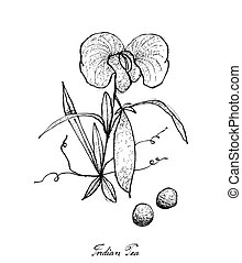 Hand Drawn of Fresh Indian Pea Plant