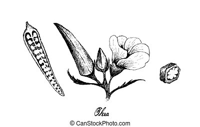 Hand Drawn of Fresh Okra Plant on White Background - ...