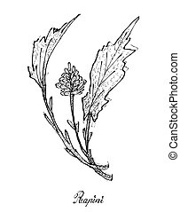 Hand Drawn of Fresh Rapini on White Background