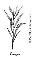 Hand Drawn of Fresh Tarragon Plant on White Background - ...