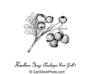 Tropical Fruit, Illustration of Hand Drawn Sketch Hawthorn Berries or Crataegus Fruits Isolated on White Background. Used for Food and Naturopathic Medicines.