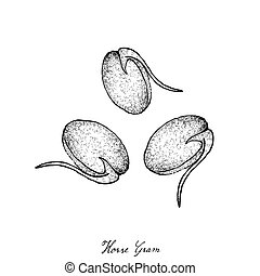 Hand Drawn of Horse Gram or Kulthi - Vegetable and Herb,...